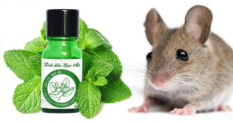 Cách đuổi chuột bằng tinh dầu lá bạc hà