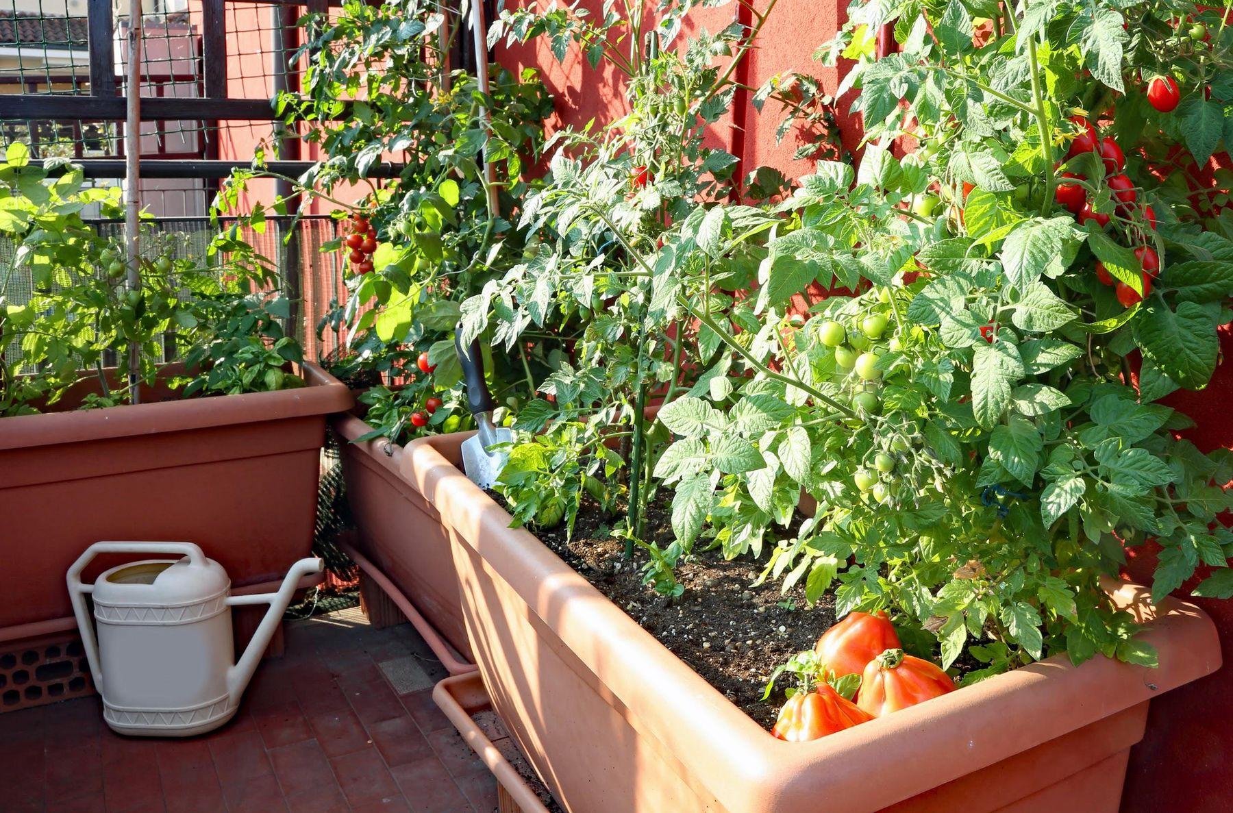 Step 2: Horta com tomates em vasos na varanda