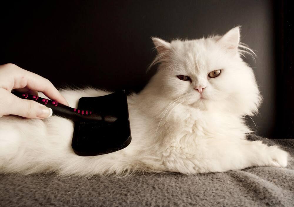 Mengenal Jenis Kucing Persia dan Tips Aman Merawatnya!