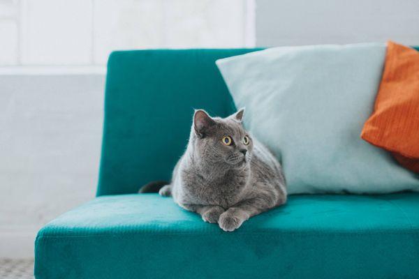 chat gris allongé sur le canapé bleu avec des coussins colorés