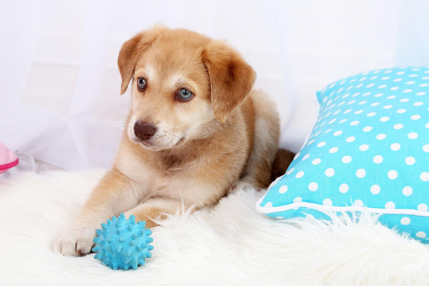 Filhote de cachorro, bolinha e almofada azul sobre o tapete felpudo