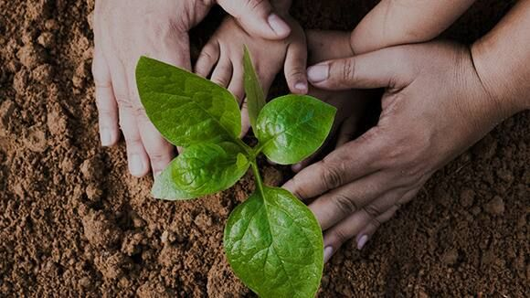 Dos pares de manos plantando una pequeña planta