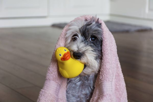dog with a towel over its head and holding a rubber duck with its muzzle