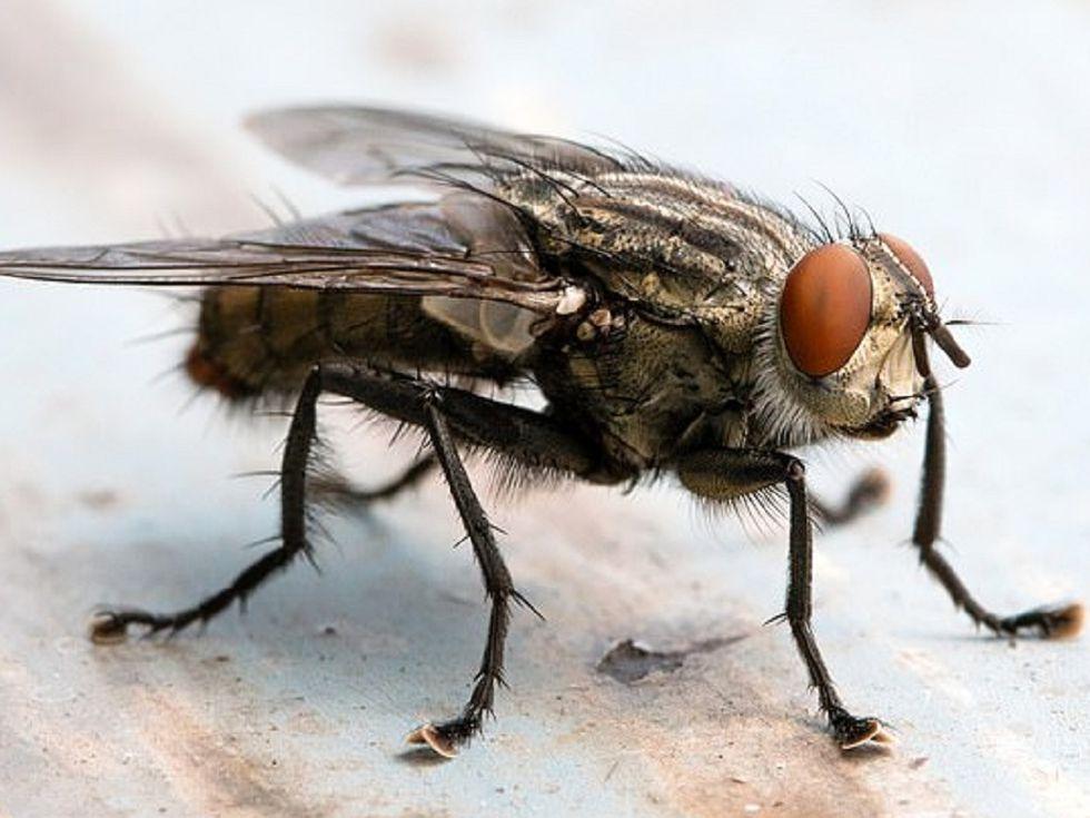 Tại sao ruồi xuất hiện nhiều trong nhà?