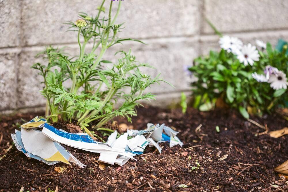 Torn up newspaper around plants