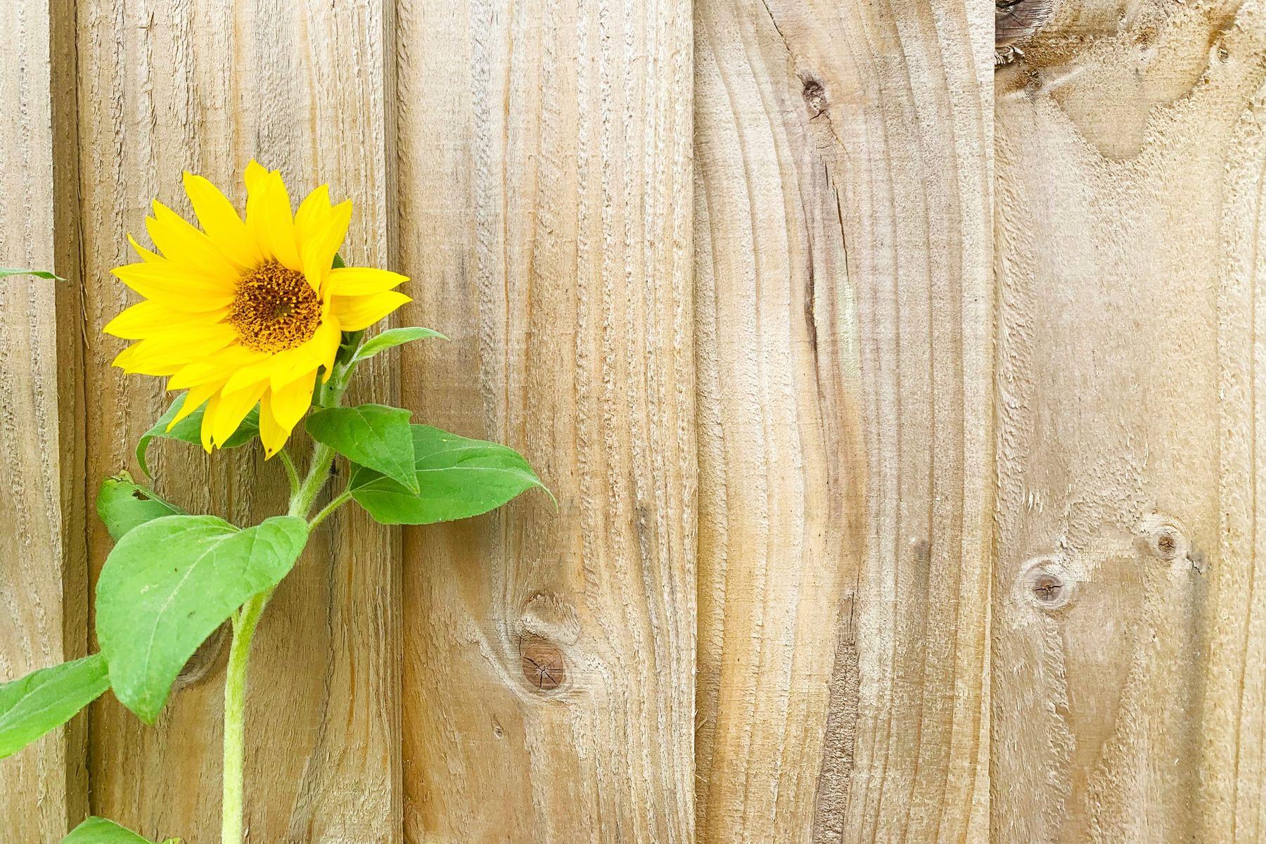 słonecznik przed drewnianą ścianą