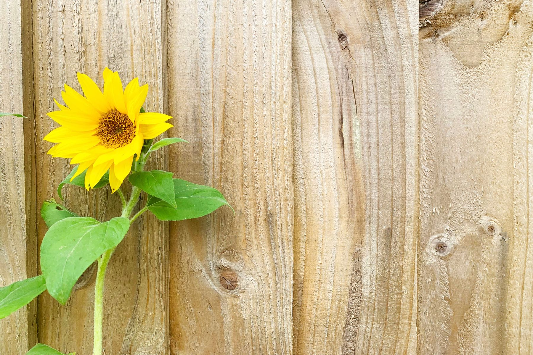 Sonnenblume vor Holzwand