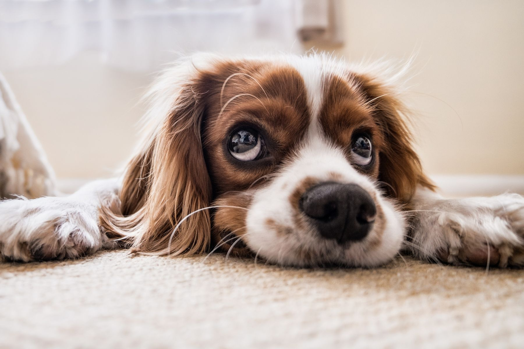 Cão deitado em cima do tapete e olhando para o dono