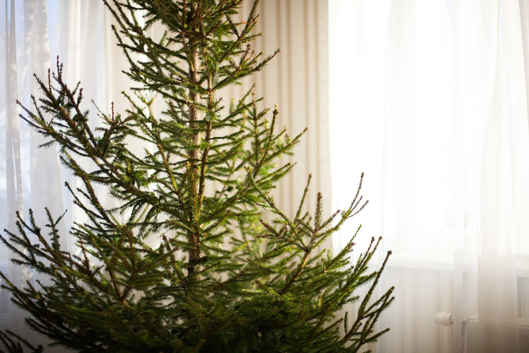 Closeup of a bare christmas spruce tree at home without decorations