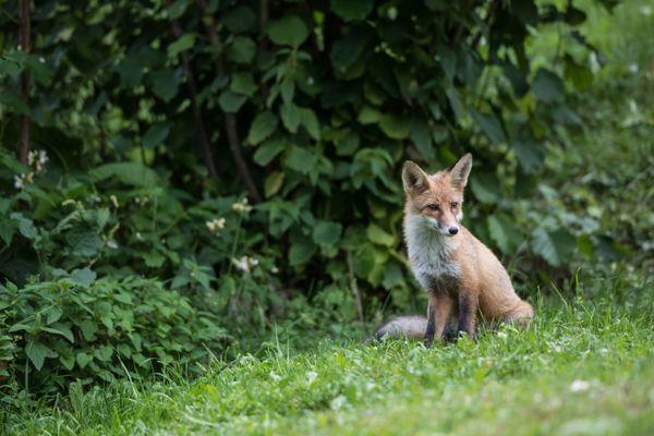 fox in garden