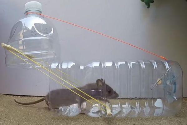 Cách làm bẫy chuột bằng chai nhựa