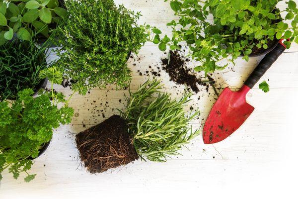 Plantas, terra e pá de jardinagem sobre a mesa de madeira