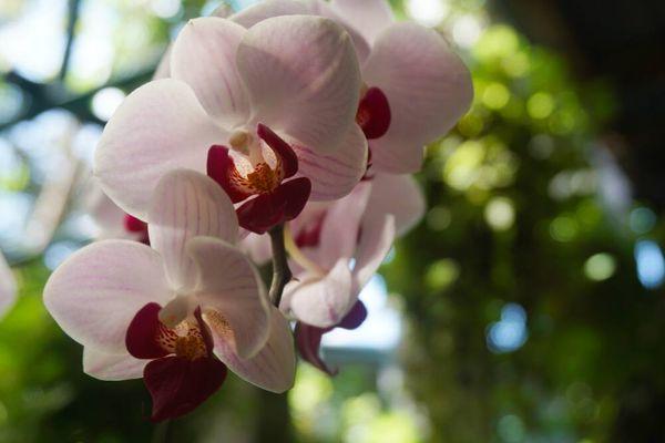 Melihat Anggrek Dendrobium Tanaman Langka yang Indah