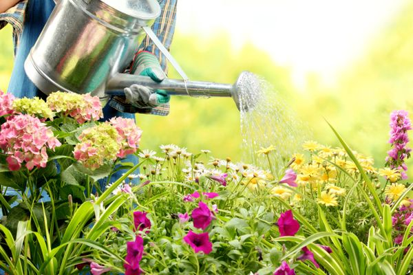 How to get rid of weeds in the garden: Gardener waters a flower bed of daisies and hydrangeas with a silver watering can