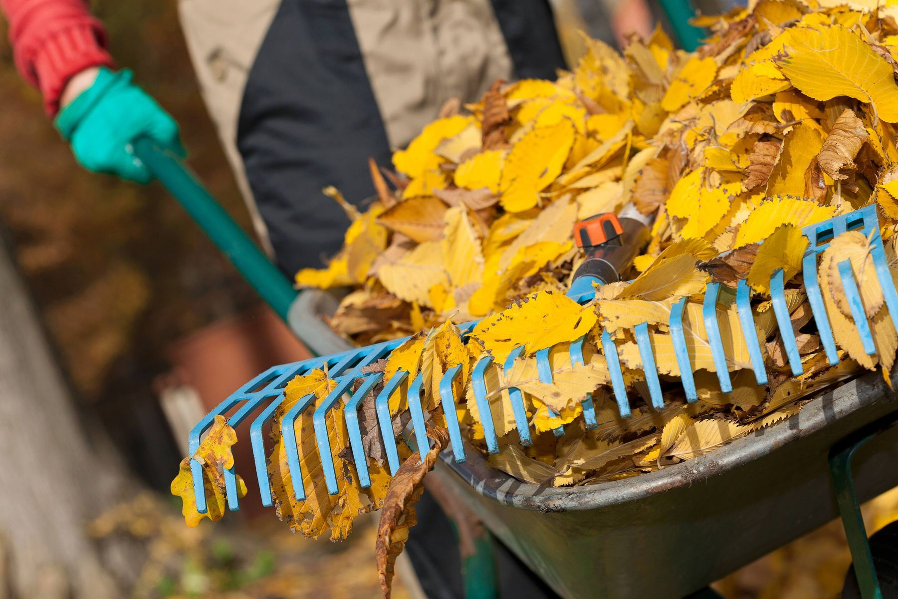 making leaf mould with autumn leaves