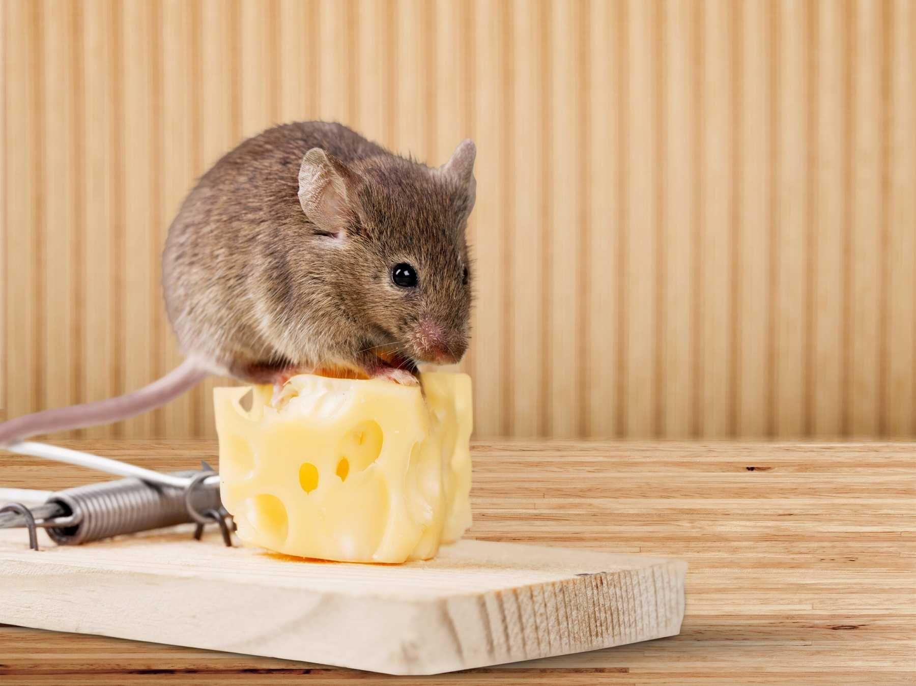 cách đuổi chuột trên trần nhà bằng bẫy chuột