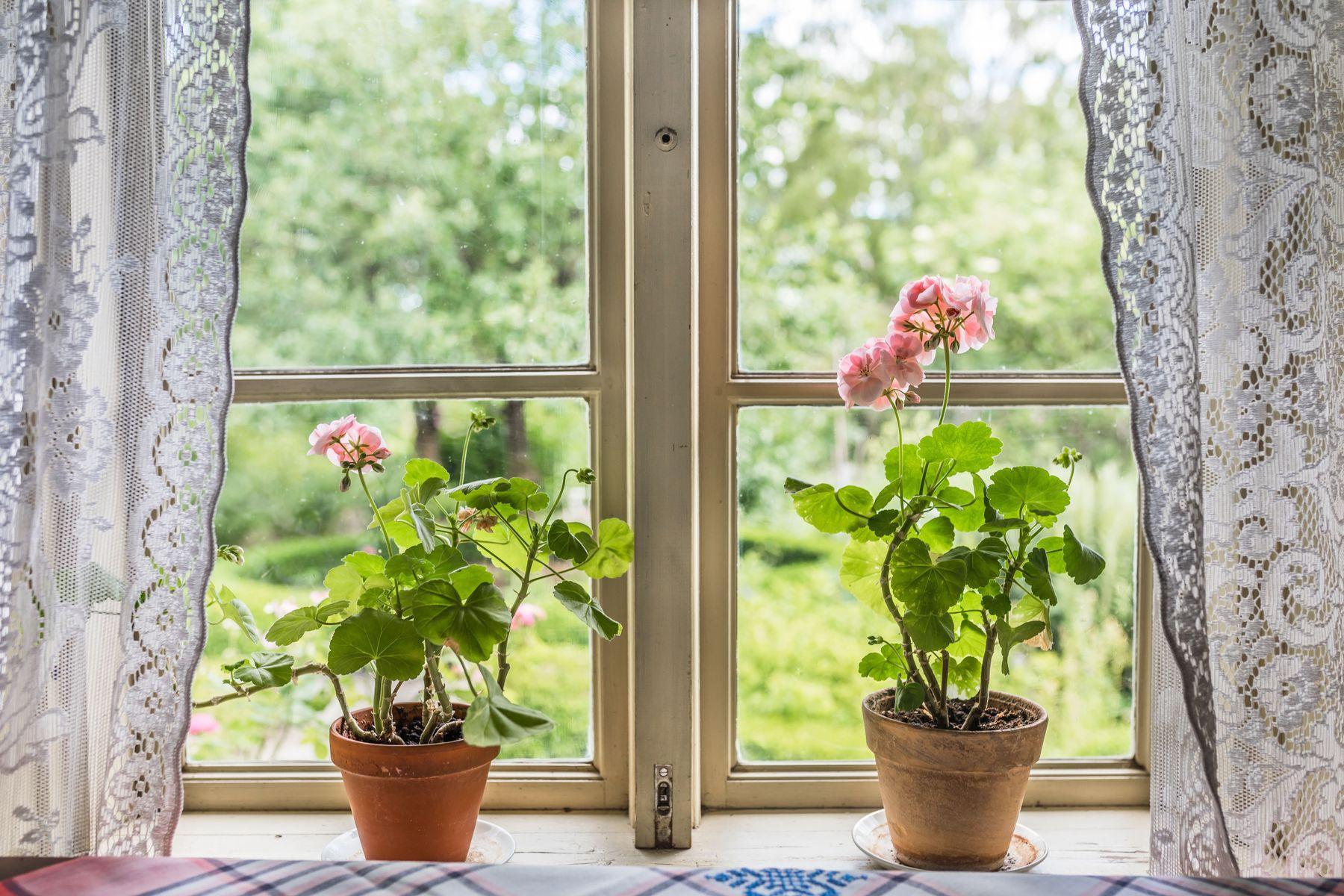 dois vasos de plantas em parapeito de janela de vidro com fundo para jardim e com cortina de renda