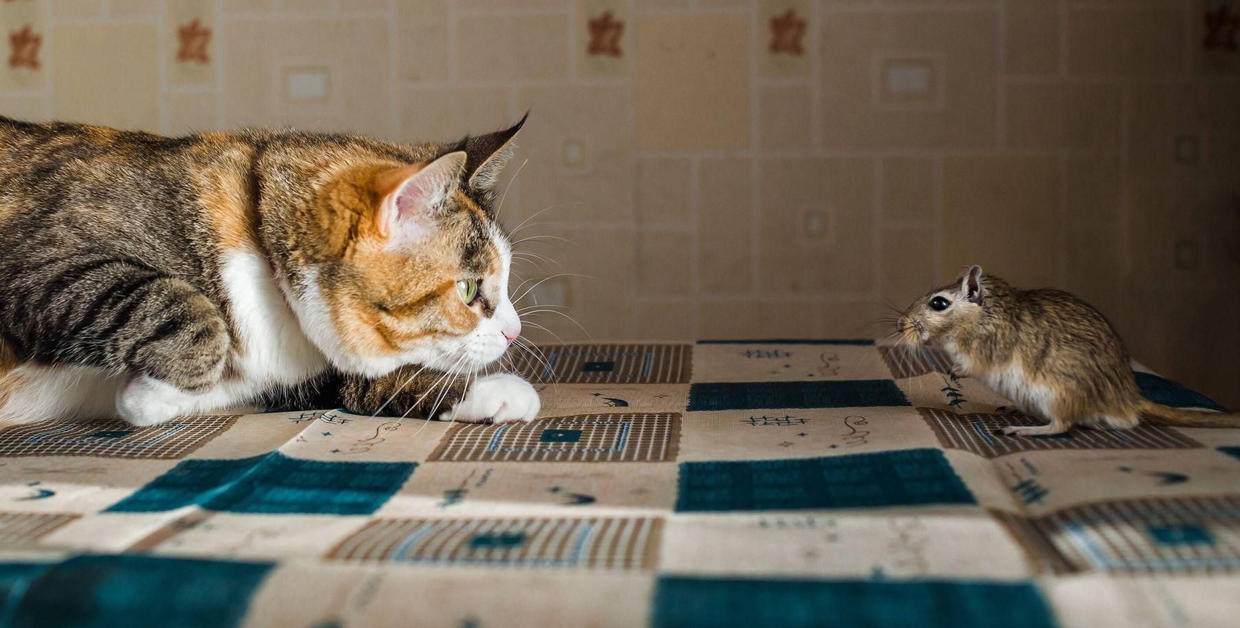 Nuôi mèo là cách đuổi diệt chuột hiệu quả nhất