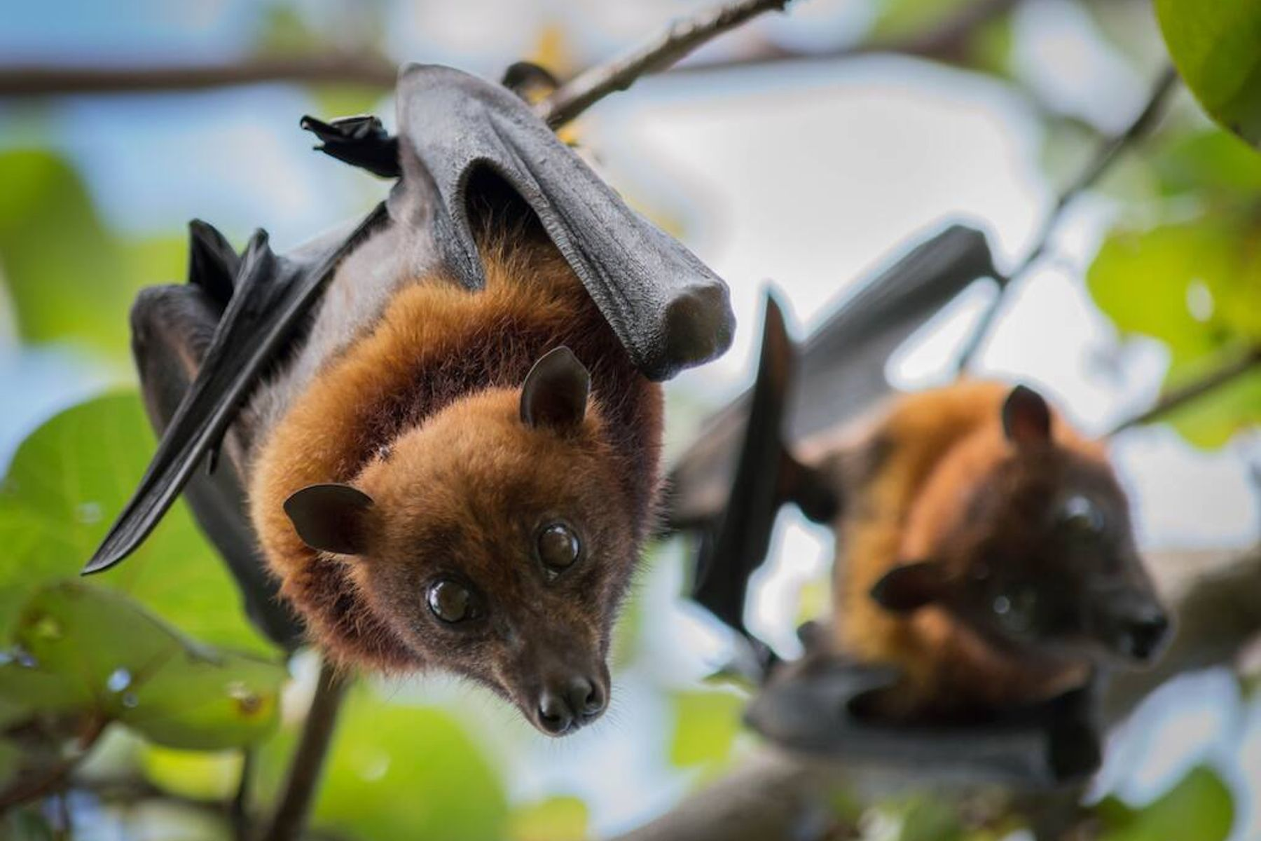 Dos muerciélagos colgados de un árbol