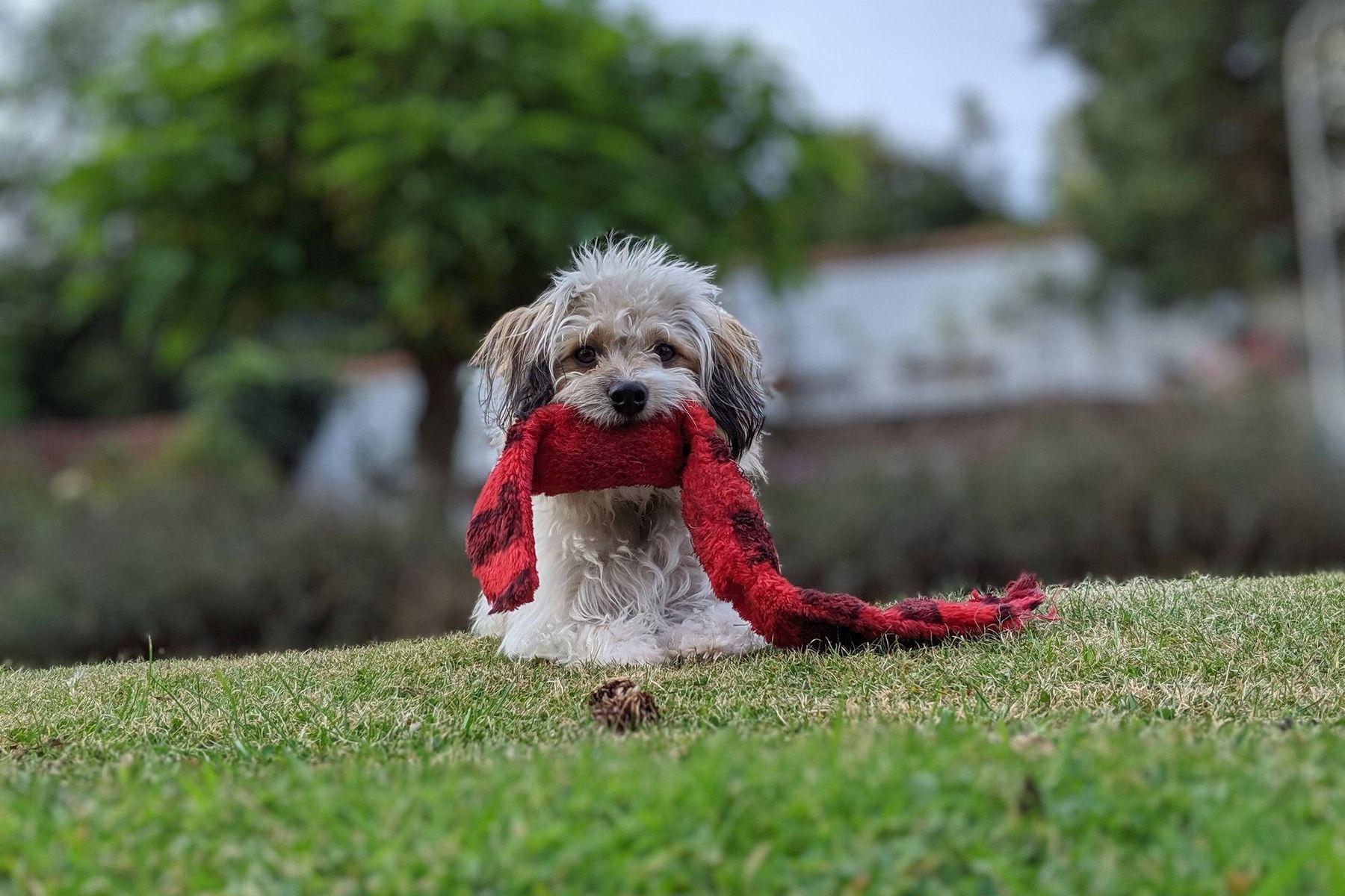 Hund auf dem Gartengras mit rotem Schal in seinem Mund