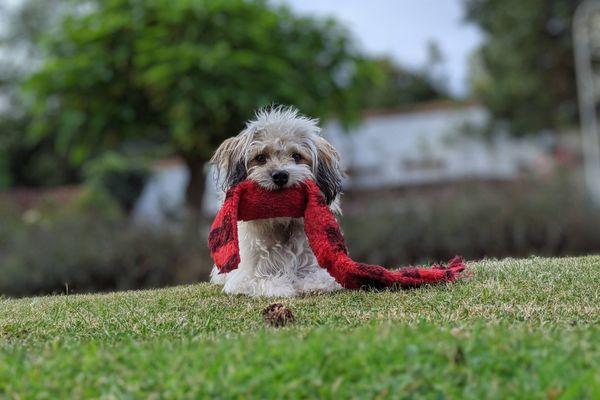 hond met rode sjaal op de mond