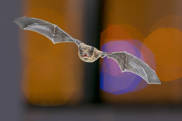 Flying bat against a blurred background: How to get rid of bats in the home