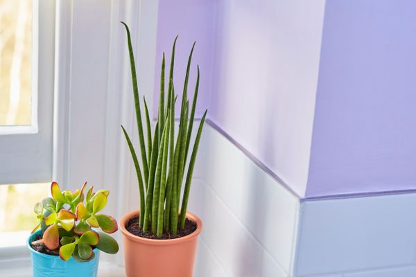aloe vera plant in bathroom against a purple wall