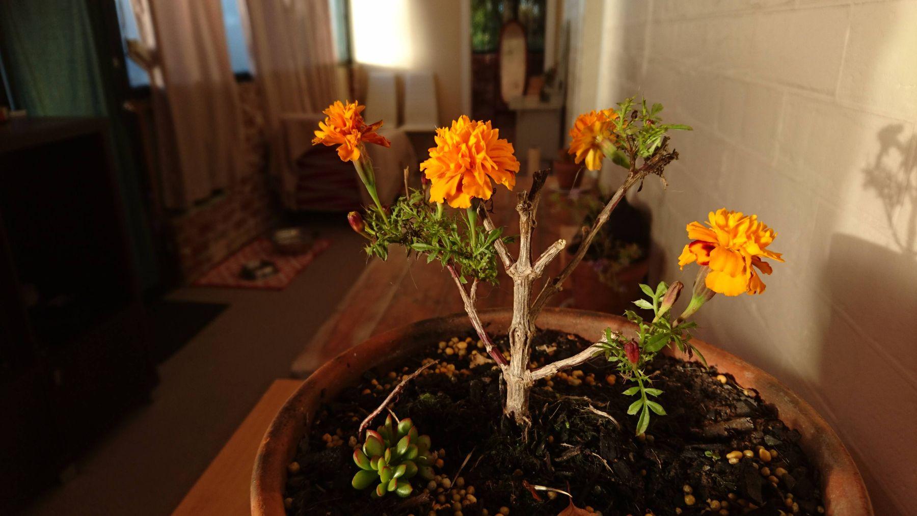Marigold ornamental plant