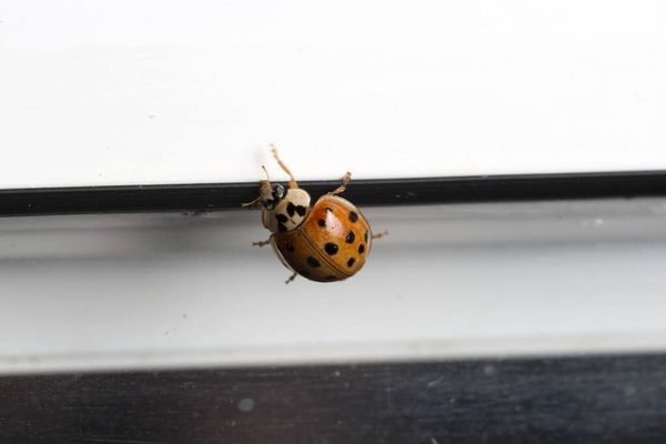 Close-up of a ladybird in the home, climbing over a wall