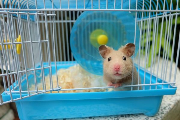 hamster in a blue cage