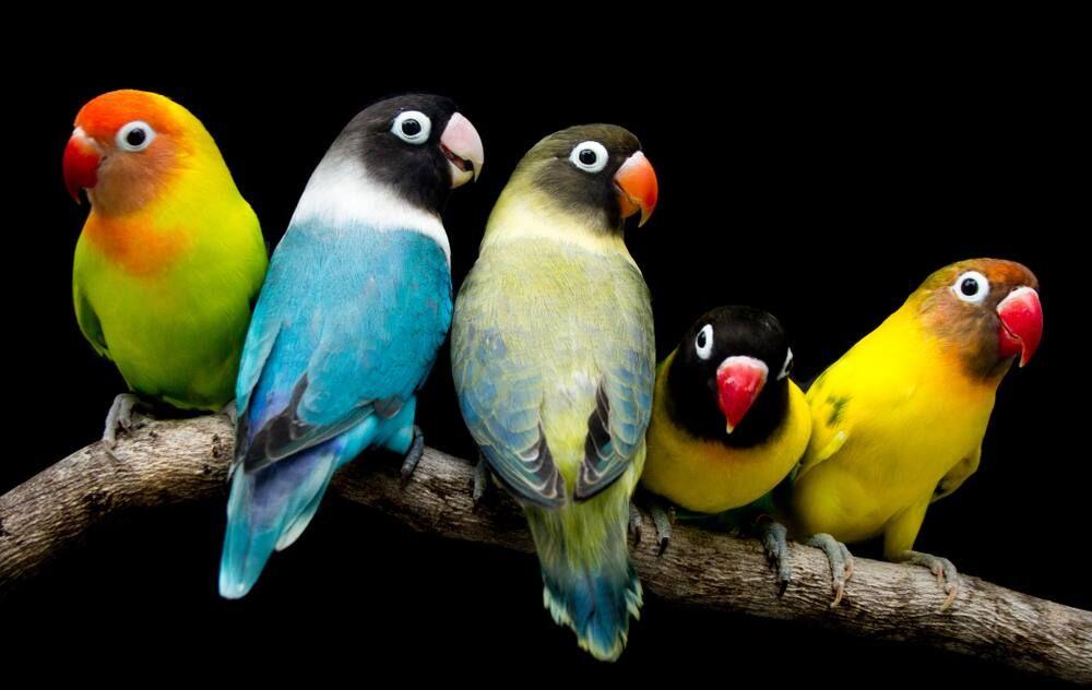 10 Jenis Burung Lovebird dari Harga Termurah Hingga Termahal