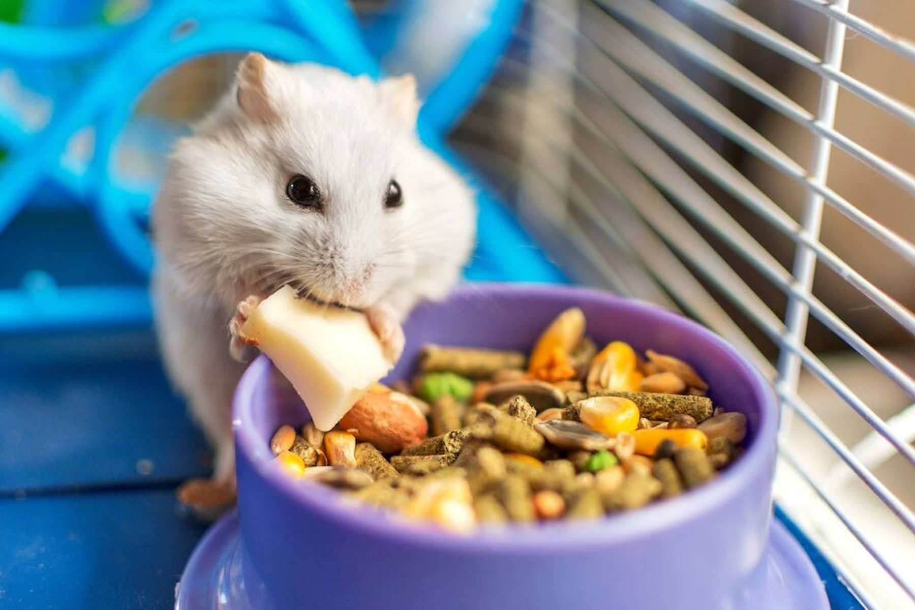 a white hamster eating food in a cage