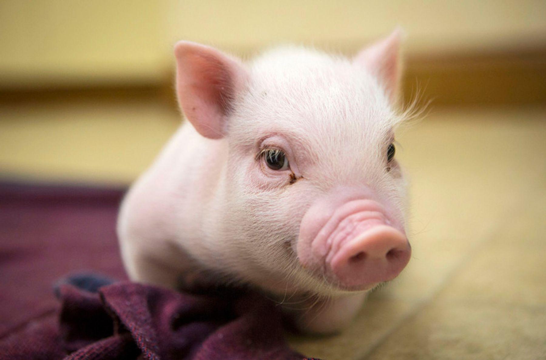 Nguyên nhân lây bệnh dịch tả lợn Châu Phi