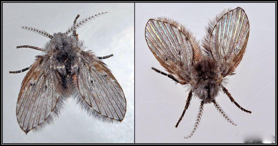 Cách diệt ruồi cánh bướm