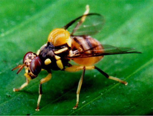 16. Cách diệt ruồi vàng hiệu quả