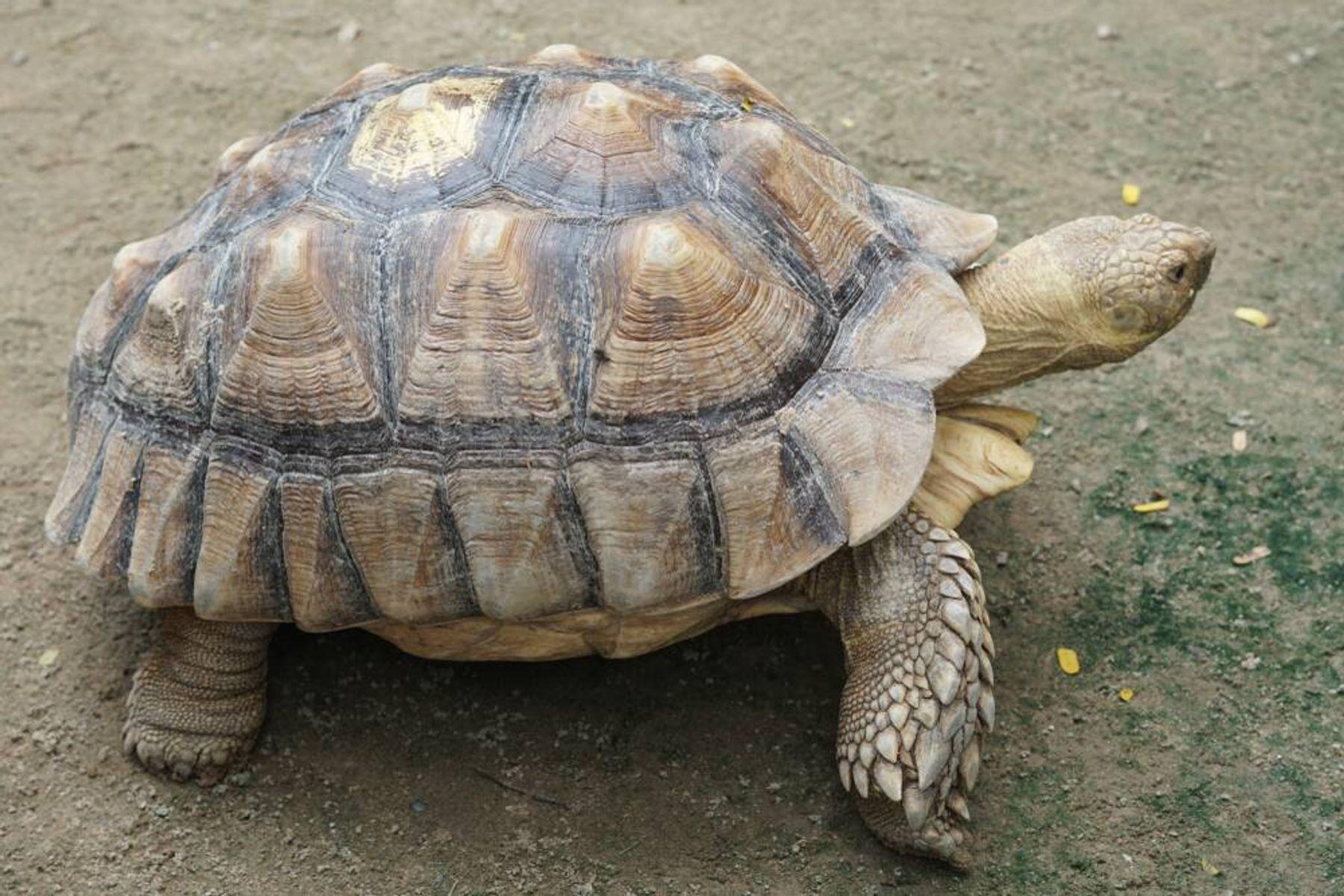 Kura kura Sulcata Reptil Lucu nan Langka