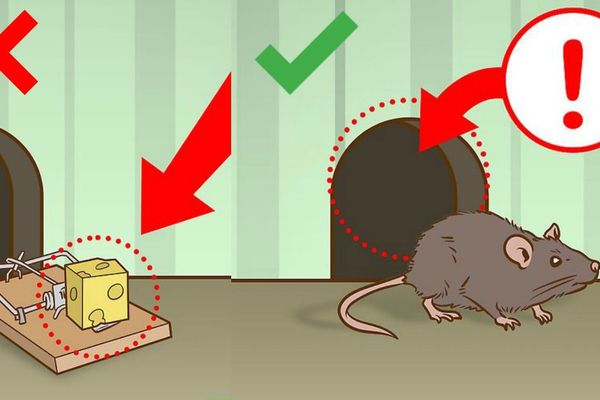 thuốc diệt chuột không màu