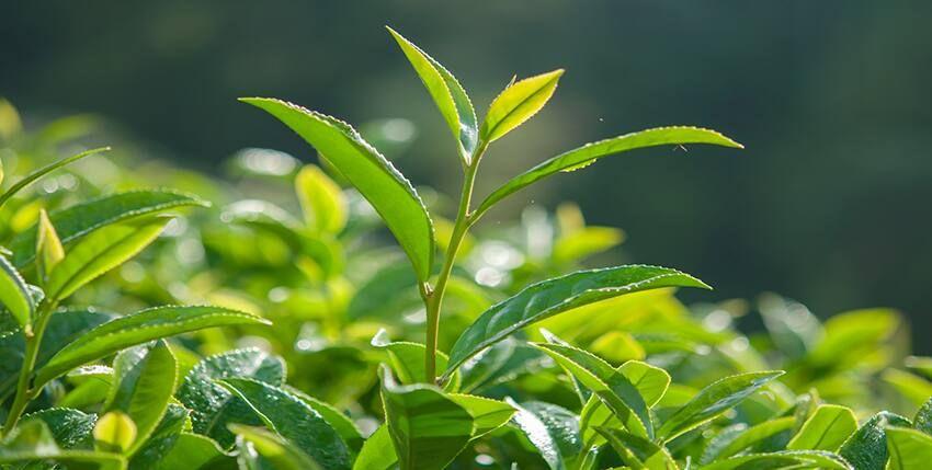 khử mùi hôi tủ lạnh bằng lá trà xanh