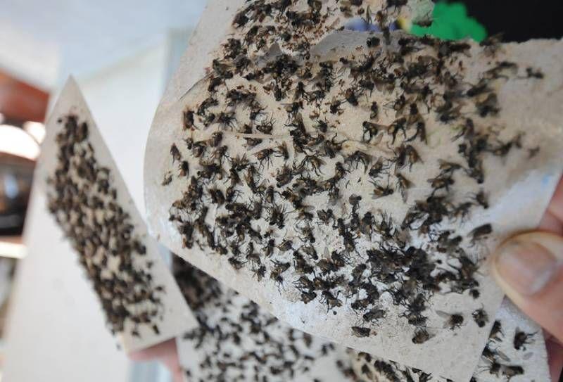 Cách diệt ruồi hiệu quả tại nhà bằng keo dính ruồi
