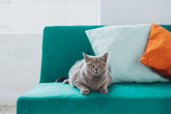chat couché sur le canapé