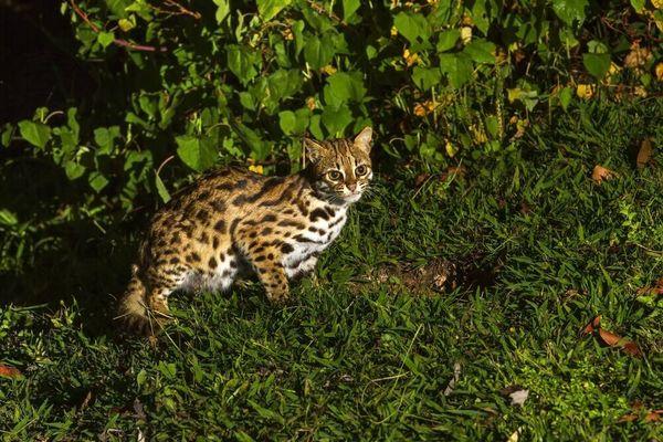 Mengenal Meong Congkok yang Sering Disangka Anak Macan